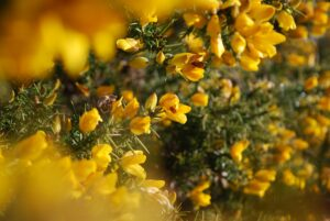 gorse yellow flowers