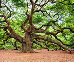 A spreading Oak tree