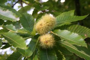 The sweet Chestnut flower