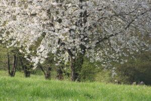 The Cherry plum tree